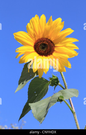 common sunflower (Helianthus annuus), against blue sky, Germany - Stock Photo