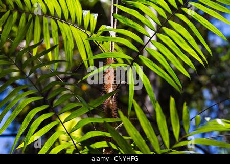 Viscious Hairy Mary (Calamus radicalis), Australia, Queensland, Atherton Tablelands - Stock Photo