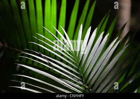Viscious Hairy Mary (Calamus radicalis), leaf, Australia, Queensland, Atherton Tablelands - Stock Photo