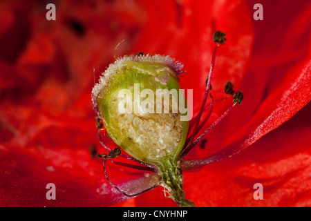 common poppy, corn poppy, red poppy (Papaver rhoeas), longitudinal cut of ovary with ovules - Stock Photo