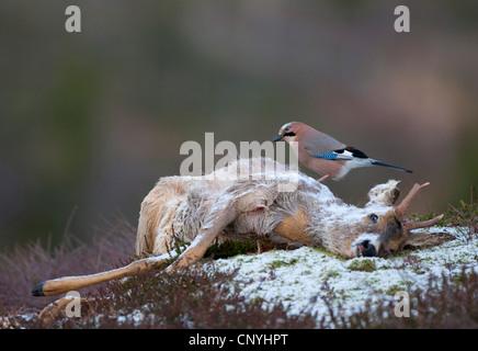 jay, Eurasian jay (Garrulus glandarius), sitting on dead roe buck, Norway, Flatanger - Stock Photo