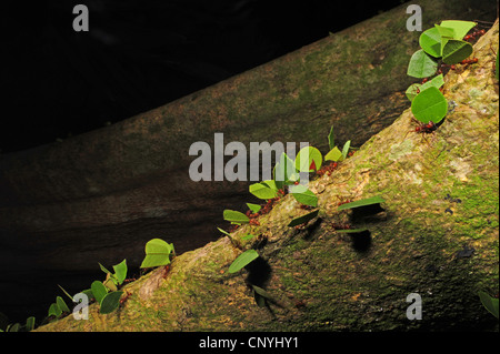 leafcutting ants crawling on a tree trunk, Honduras, Roatan, Bay Islands - Stock Photo