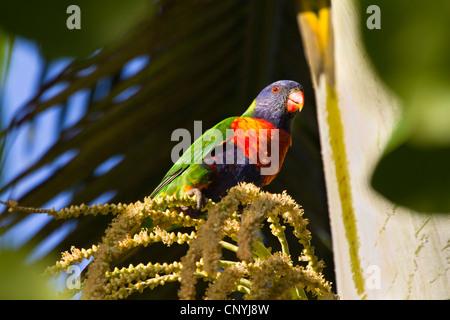 rainbow lory (Trichoglossus haematodus), sitting on an inflorescence, Australia, Queensland, Atherton Tablelands - Stock Photo