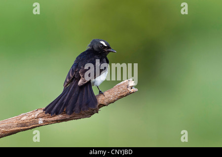 black & white fantail (Rhipidura leucophrys), sitting on a branch, Australia, Queensland - Stock Photo