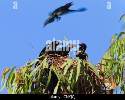 shining starling (Aplonis metallica), Shining Starling in breeding colony, Australia, Queensland, Daintree National Park