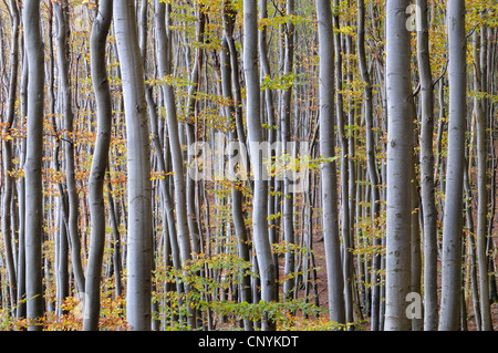 common beech (Fagus sylvatica), beech forest in autumn, Germany, Mecklenburg-Western Pomerania, Nationalpark Jasmund - Stock Photo
