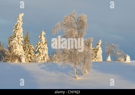 snow covered spruces and birch with hoar frost, Germany - Stock Photo
