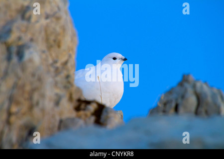 Rock ptarmigan, Snow chicken (Lagopus mutus), female in winter plumage peering from behind a rock, Switzerland, - Stock Photo