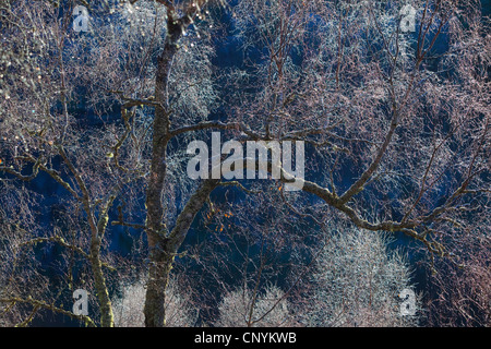 birch (Betula spec.), frosted birches on cold winter day, United Kingdom, Scotland, Glen Affric National Nature - Stock Photo