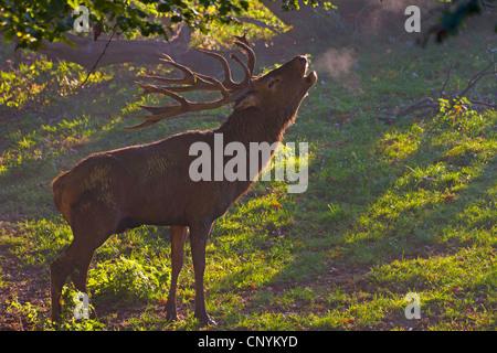 red deer (Cervus elaphus), roaring, Switzerland, Sankt Gallen - Stock Photo
