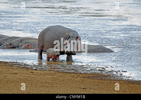 hippopotamus, hippo, Common hippopotamus (Hippopotamus amphibius), mother with newborn baby at Mara River, Kenya, - Stock Photo