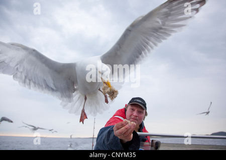 herring gull (Larus argentatus), feeding in flight out of a fisherman's hand, Norway, Nord-Trondelag, Flatanger - Stock Photo