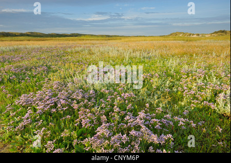 common sea-lavender, mediterranean sea-lavender (Limonium vulgare), lots of blooming plants in a salt meadow, Netherlands, - Stock Photo