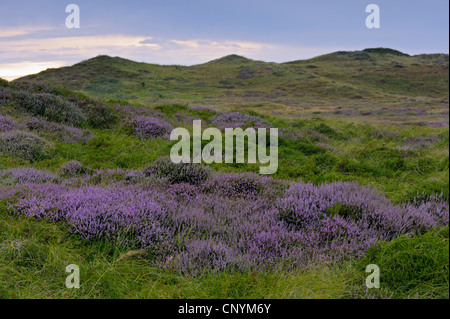 heather, ling (Calluna vulgaris), in dune landscape, Netherlands, Northern Netherlands, Netherlands, Texel - Stock Photo