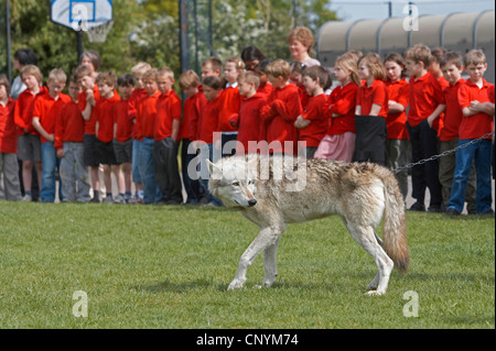 European gray wolf (Canis lupus lupus), visit of two tame animals from the UK Wolf Conservation Trust, Oxon, at - Stock Photo