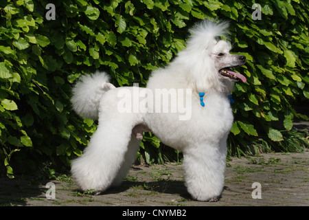 Miniature Poodle (Canis lupus f. familiaris), white miniature poodle standing in front of hedge - Stock Photo