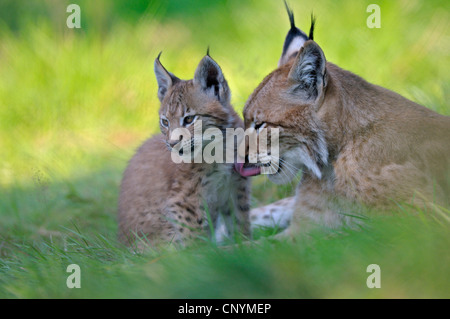 Eurasian lynx (Lynx lynx), mother with juvenile cleaning each other's fur - Stock Photo