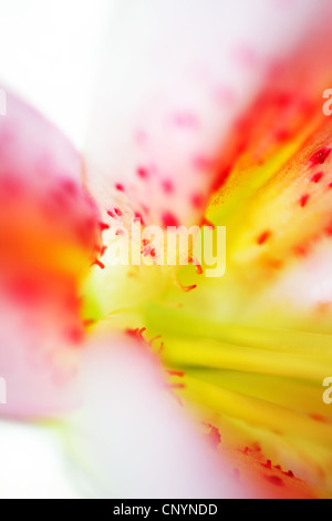 Abstract closeup on pink fresh lily flower - Stock Photo