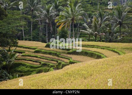 rice terraces, Indonesia, Bali, Ubud - Stock Photo