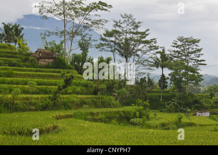 rice terraces in front of Gunung Agung volcano, Indonesia, Bali - Stock Photo