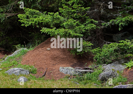 small red wood ant (Formica polyctena), ant hill, Germany - Stock Photo