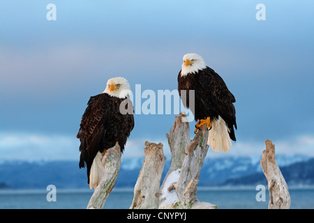 American bald eagle (Haliaeetus leucocephalus), two bald eagles sitting on a dead tree , USA, Alaska, Kenai - Stock Photo