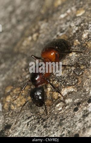Carpenter ant (Camponotus ligniperdus, Camponotus ligniperda), queen, Germany