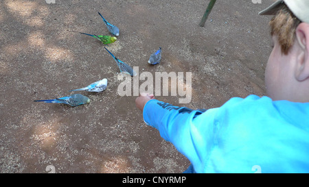 budgerigar, budgie, parakeet (Melopsittacus undulatus), little boy feeding budgies - Stock Photo