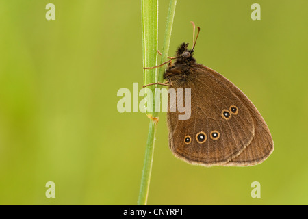 ringlet (Aphantopus hyperantus), hanging on a grass halm, Germany, Rhineland-Palatinate - Stock Photo