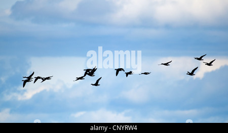 Brant Geese on their spring migration North to Alaska to their nesting grounds SCO 8181 - Stock Photo