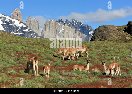 guanaco (Lama guanicoe), grazing herd, Torres del Paine in background, Chile, Torres del Paine National Park - Stock Photo