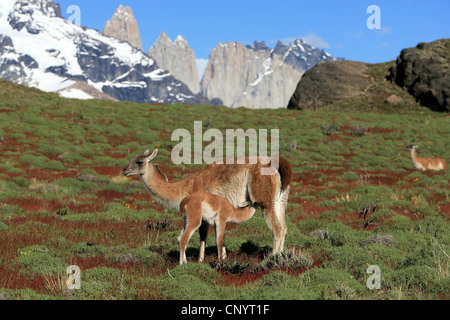 guanaco (Lama guanicoe), mother suckling her child, Chile, Torres del Paine National Park - Stock Photo