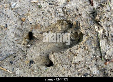 wild boar, pig, wild boar (Sus scrofa), foot print in mud, Germany - Stock Photo