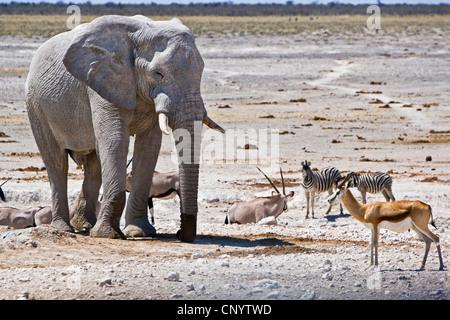 African elephant (Loxodonta africana), at a waterhole with zebras and springboks, Namibia, Etosha National Park - Stock Photo
