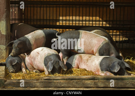 domestic pig, Angeln Saddleback (Sus scrofa f. domestica), Angeln Saddleback, Angler Sattelschwein, in a stable - Stock Photo
