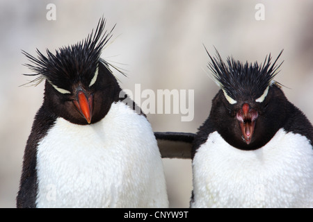Rockhopper Penguin (Eudyptes chrysocome), embracing, Argentina, Penguin Island - Stock Photo