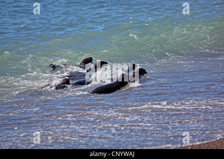 Southern sea lion, South American sea lion, Patagonian sea lion (Otaria flavescens, Otaria byronia), pups in the - Stock Photo