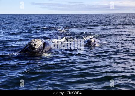 southern right whale (Eubalaena australis, Balaena glacialis australis), in the sea, Argentina, Peninsula Valdes - Stock Photo