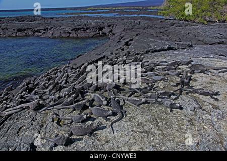 marine iguana, Galapagos marine iguana (Amblyrhynchus cristatus), colony at the coast, Ecuador, Galapagos - Stock Photo