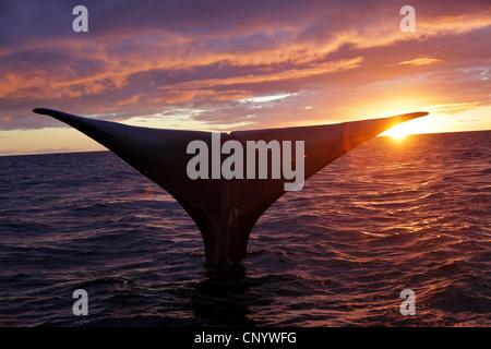 southern right whale (Eubalaena australis, Balaena glacialis australis), fluke at sunset, Argentina, Peninsula Valdes - Stock Photo