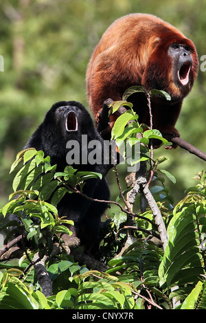 Black and red howler, Red-handed Howler Monkey  (Alouatta belzebul), sitting on a bush roaring, Brazil, Para - Stock Photo