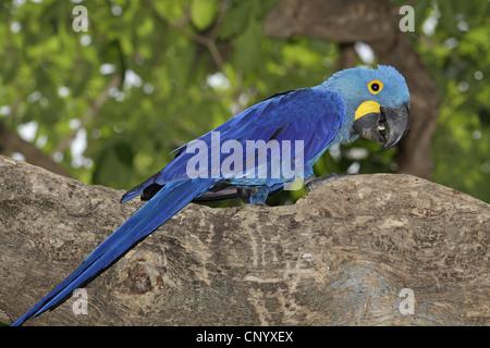 hyacinth macaw (Anodorhynchus hyacinthinus), sitting on a tree, Brazil, Pantanal - Stock Photo