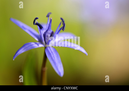 twin-leaf squill (Scilla bifolia), flower, Germany - Stock Photo