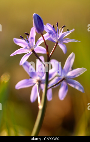 twin-leaf squill (Scilla bifolia), inflorescence in backlight, Germany - Stock Photo