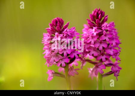 pyramidal orchid (Anacamptis pyramidalis, Orchis pyramidalis), two inflorescences, Germany - Stock Photo