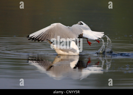 black-headed gull (Larus ridibundus), starting from a lake, Germany - Stock Photo