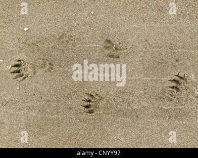 Eurasian beaver, European beaver (Castor fiber), foot prints in the sand, Germany, Lower Saxony, Wendland, Elbtalaue - Stock Photo