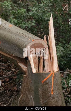 common beech (Fagus sylvatica), log , Germany, North Rhine-Westphalia - Stock Photo