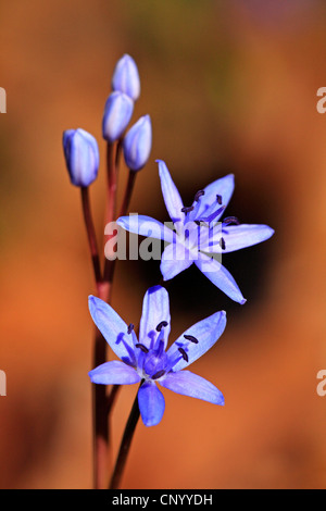 twin-leaf squill (Scilla bifolia), blooming, Germany, Baden-Wuerttemberg - Stock Photo