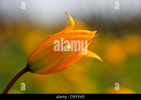 wild tulip (Tulipa sylvestris), flower, Germany, Baden-Wuerttemberg - Stock Photo